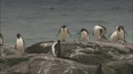 Chinstrap and Adelie penguins preen themselves on a rock.