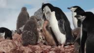 Chinstrap penguin (Pygoscelis antarcticus) at rock nest, feeds chick, Antarctica
