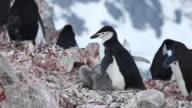 Chinstrap penguin (Pygoscelis antarcticus) at rock nest with pair of chicks, Antarctica