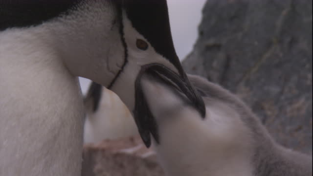 A chinstrap penguin chick reaches into its mother's mouth for food. Available in HD.