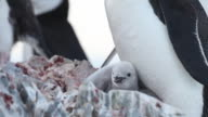 Chinstrap penguin (Pygoscelis antarcticus) chicks at rock nest with adult, Antarctica
