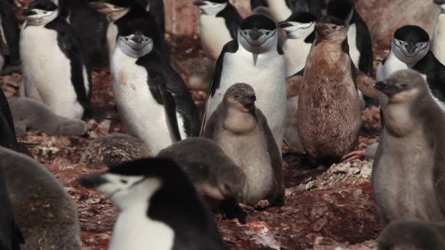 Chinstrap penguin (Pygoscelis antarcticus) chicks in colony, Antarctica