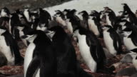 Chinstrap penguin (Pygoscelis antarcticus) colony, slightly wobbly pan, Antarctica