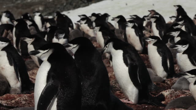 Chinstrap penguin (Pygoscelis antarcticus) colony, slightly wobbly pan, Antarctica