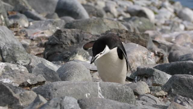 Chinstrap Penguin jumping towards camera over rocks
