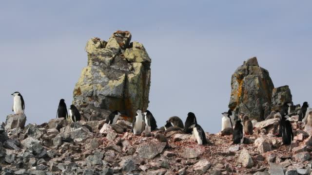 Chinstrap Penguin rookery, Half moon Island