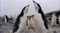 MS, chinstrap penguin, Signy Island, South Orkneys