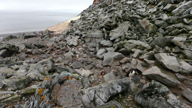 Chinstrap Penguins jumping up rocky hill towards camera