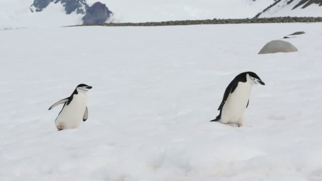 Chinstrap Penguins walking on Snow in Antarctica