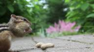 Chipmunk eating peanuts
