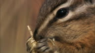 Chipmunk (Tamius minimus) feeds on grass seed head, Yellowstone, USA