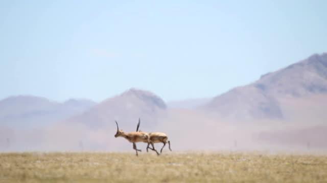chiru(tibetan antelope) at kokoxili national nature reserve