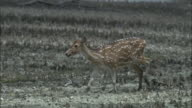 A chital deer cautiously walks through a mangrove swamp. Available in HD.