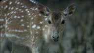 Chital deer forages amongst mangrove roots Available in HD.