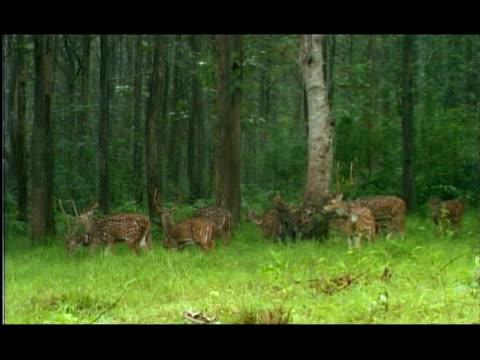 Chital (Axis axis) Deer in the monsoon rains, Nagarahole, Southern India