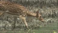 A chital deer walks through a mangrove swamp. Available in HD.