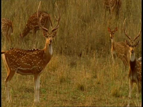 MS Chital stags, Axis axis, stamping feet, Bandhavgarh National Park, India