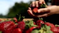 choosing fresh strawberries