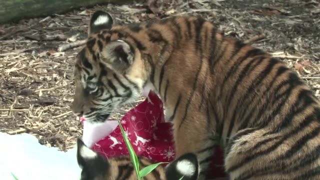 Christmas comes early for animals at a Sydney zoo as they receive some colourful and tasty gifts Sydney Australia