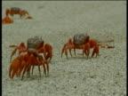 Christmas Island red crabs cross road, Christmas Island