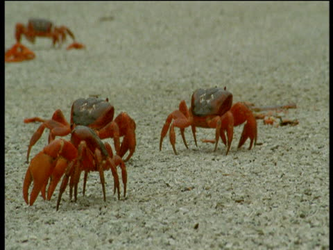 Christmas Island red crabs cross road, Christmas Island