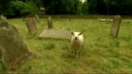 Church of England General Synod votes in favour of ordaining women bishops EXT Rt Rev Dr Alan Smith interview SOT Sheep bleating SOT Sheep grazing in...