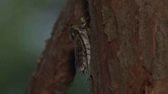 A Cicada Crawling Up A Tree Trunk