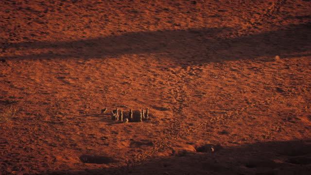 A clan of meerkats stands alert on the Kalahari Desert. Available in HD.