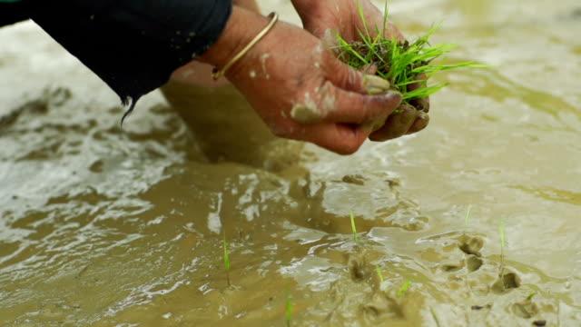classic way to handle rice seedlings, China