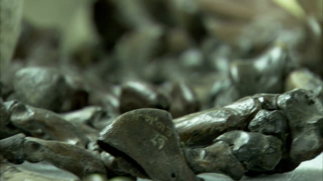 Cleaned fossils are put on display. Available in HD.