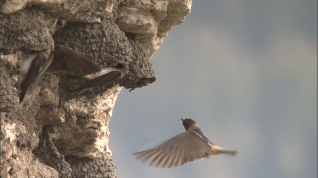 Cliff swallows (Petrochelidon pyrrhonota) and nests on cliff, Yellowstone, USA