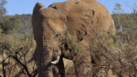 3 clips of an elephant walking in the wild bush of South Africa, coming out to a dirt road and stopping to look into the camera, then continuing into the bush
