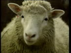 Cloned Dolly the sheep flares nostrils and moves towards cam in sheep pen