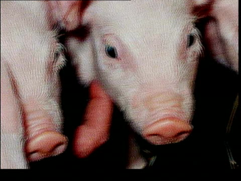 Cloned piglets