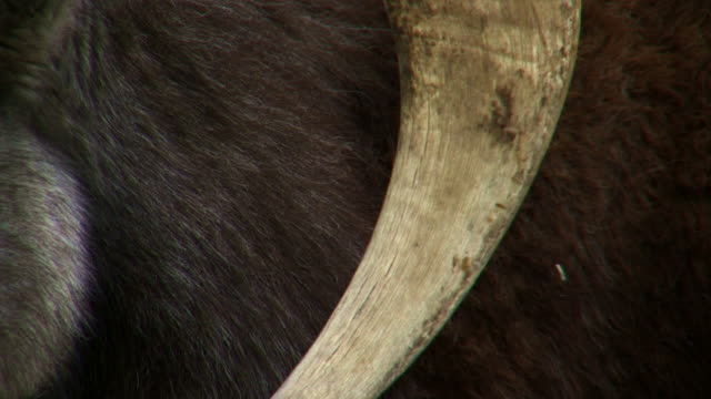 Close on the skin, fur and tusk of a wild animal.