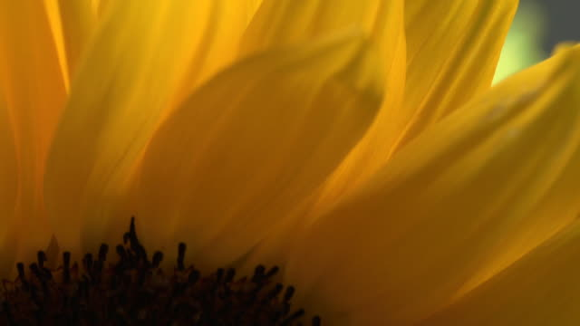 Close pan up the head of a sunflower.