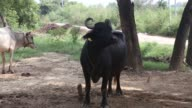 Close shot a buffalo stands chewing while tethered in Bhagpat Uttar Pradesh India on Monday Aug 17 Medium shot a yellow identification tag displays...