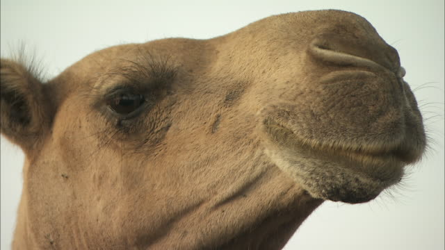 Close shot of a camel chewing.