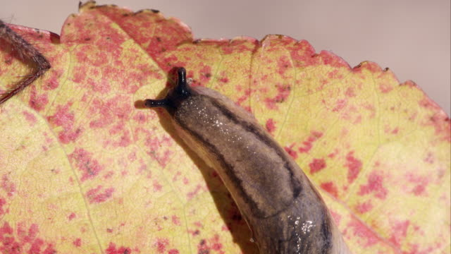 Close shot of a slug on a red leaf, from above.
