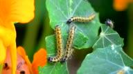 Close shot of Caterpillar eating leaves.