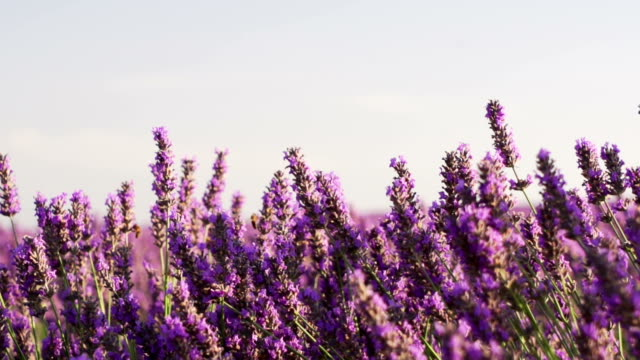 close shot of lavender field in slow motion