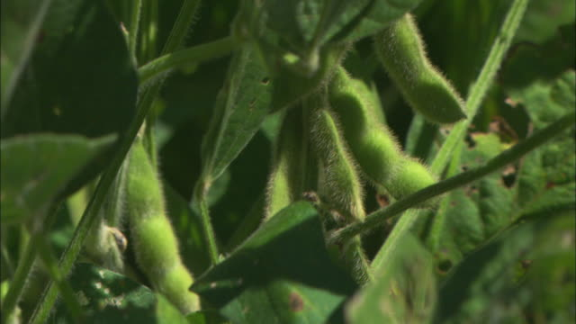 Close shot of seed pods on a soy plant.