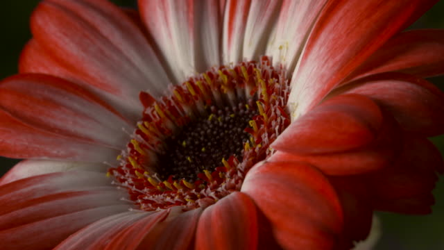 Close shot on a gerbera flower head gently swaying.