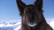 Close shot on a mountain rescue dog.