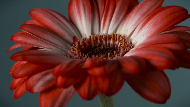 Close shot onto a beautiful red gerbera flower.