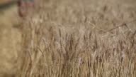 Close shot stalks of wheat in a field is processed by a combine harvester as it passes