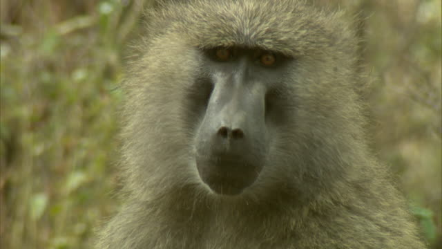 Close Up - A baboon sits in the grass then moves away / Kenya