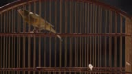 Close Up a canary vigorously jumping in a wooden cage General Views of Impanema Favela in Rio de Janeiro Brazil on June 11 2013