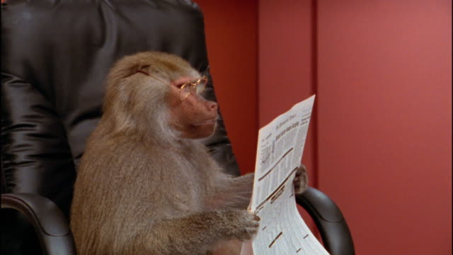 Close up baboon in eyeglasses holding newspaper and sitting in office chair