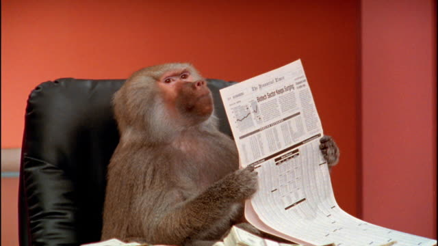Close up baboon reading financial section of newspaper / zoom out to reveal stacks of money in foreground / zoom in to close up
